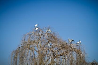Egrets on Tree